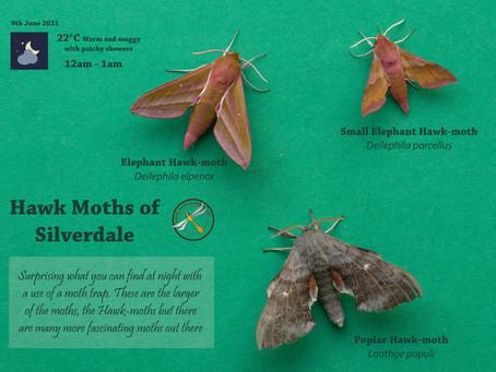 Hawk Moths of Silverdale