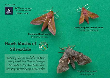 Hawk Moths od Silverdale.jpg