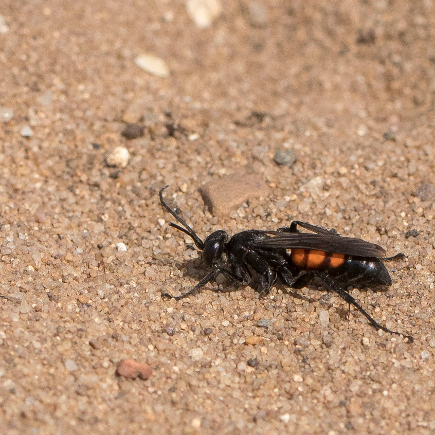 9th May 2018_ Black-banded Spider Wasp _Anoplius viaticus _Kirkby Moor _01