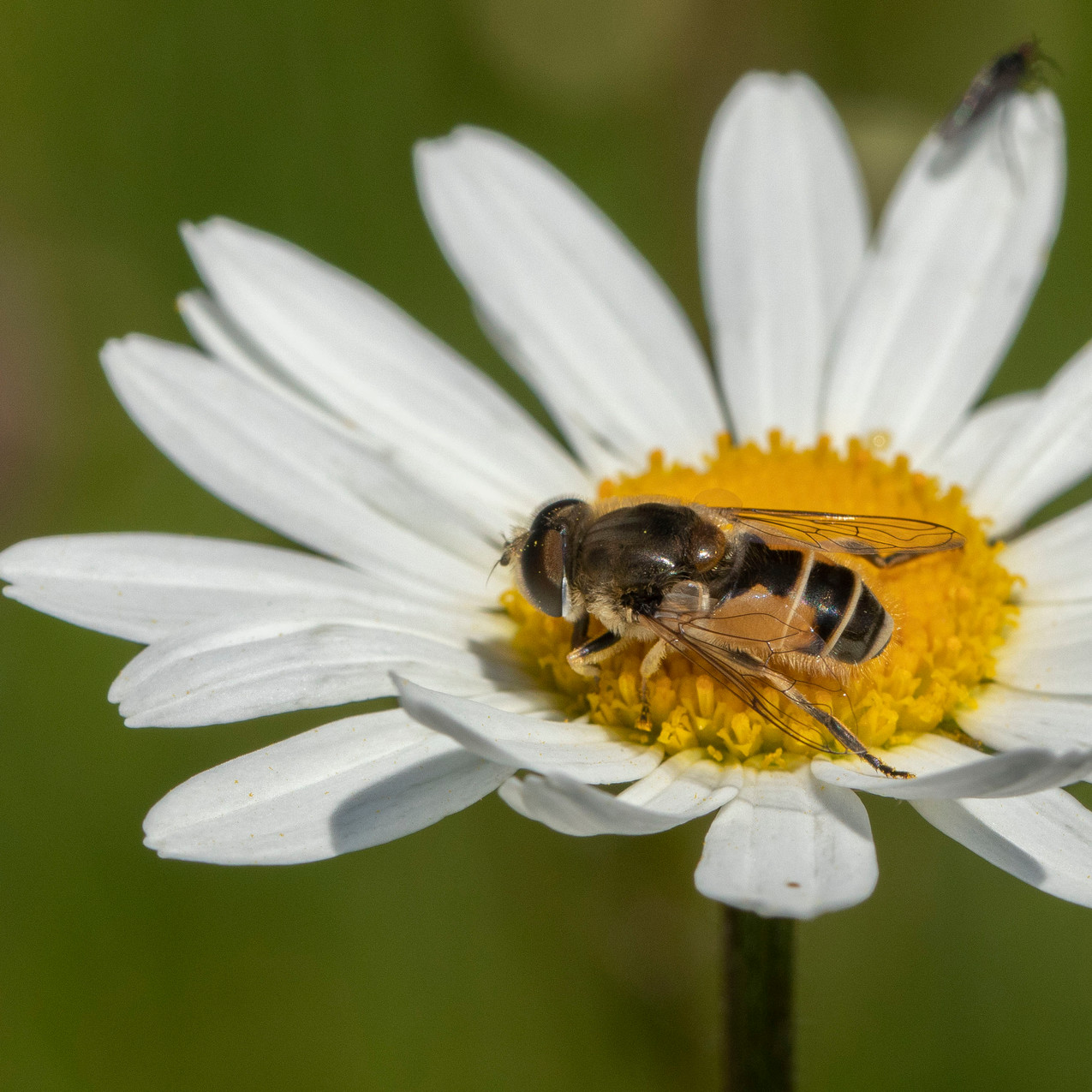 25th May 2020 _Hoverfly _Hatton Meadows