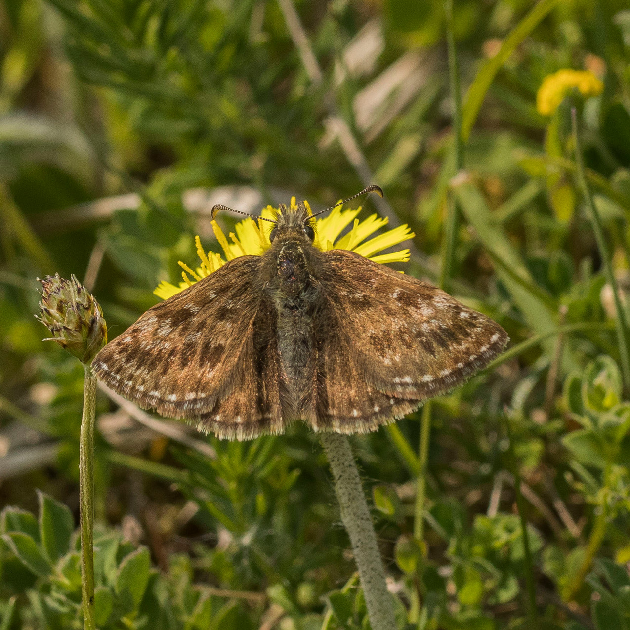 23rd May 2018 _ Dingy Skipper Butterfly _Erynnis tages _Twyford Wood _20