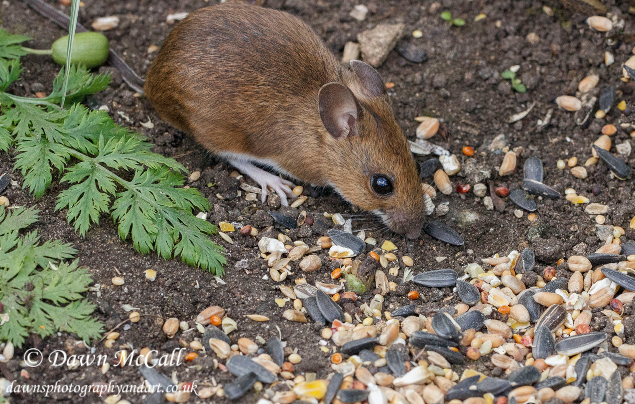 18th April 2017  _Wood Mouse_Bunkers Hill Garden _ Watermarked 01