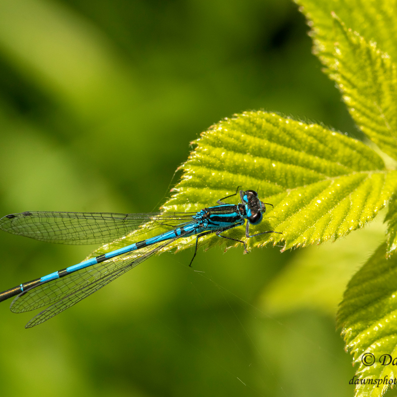 14th June 2019_ Azure Damselfly_ RSBP St
