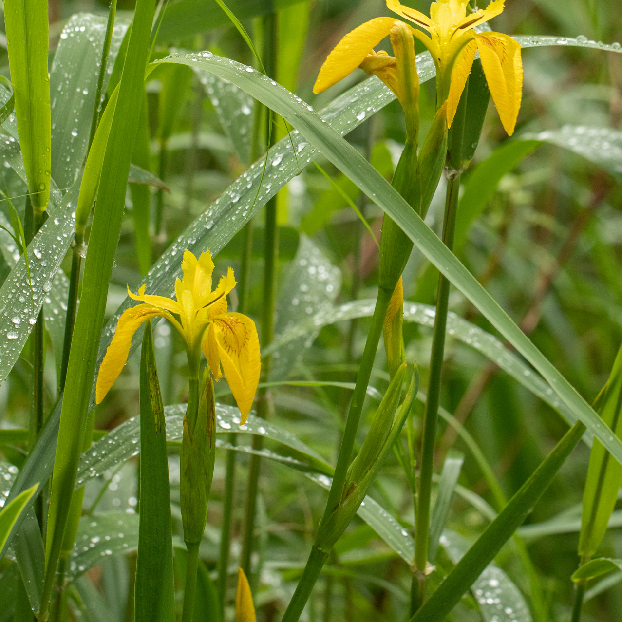 13th June 2019_ Yellow Flag Iris_ Upton