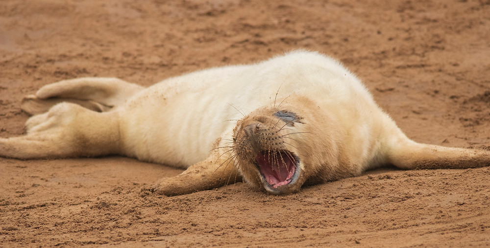 Grey Seal pups are born with white fluffy coats