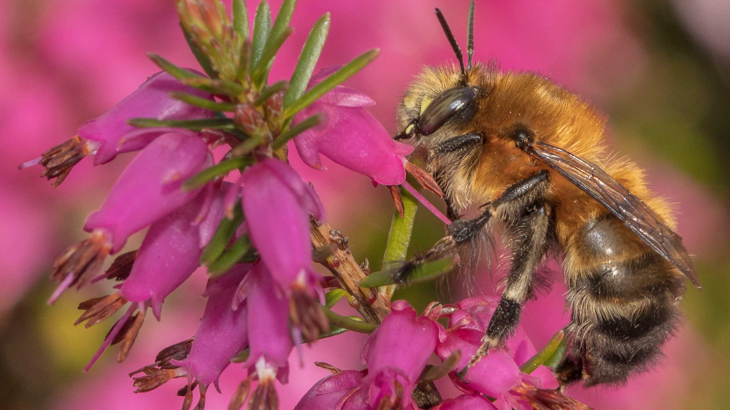 Male Hairy Footed Flower Bee