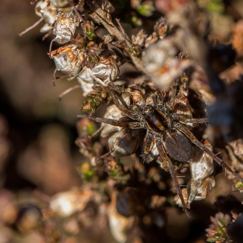 5th April 2018_ Wolf Spider_ Pardosa prativaga_ Kirkby Moor Nature Reserve_ 01