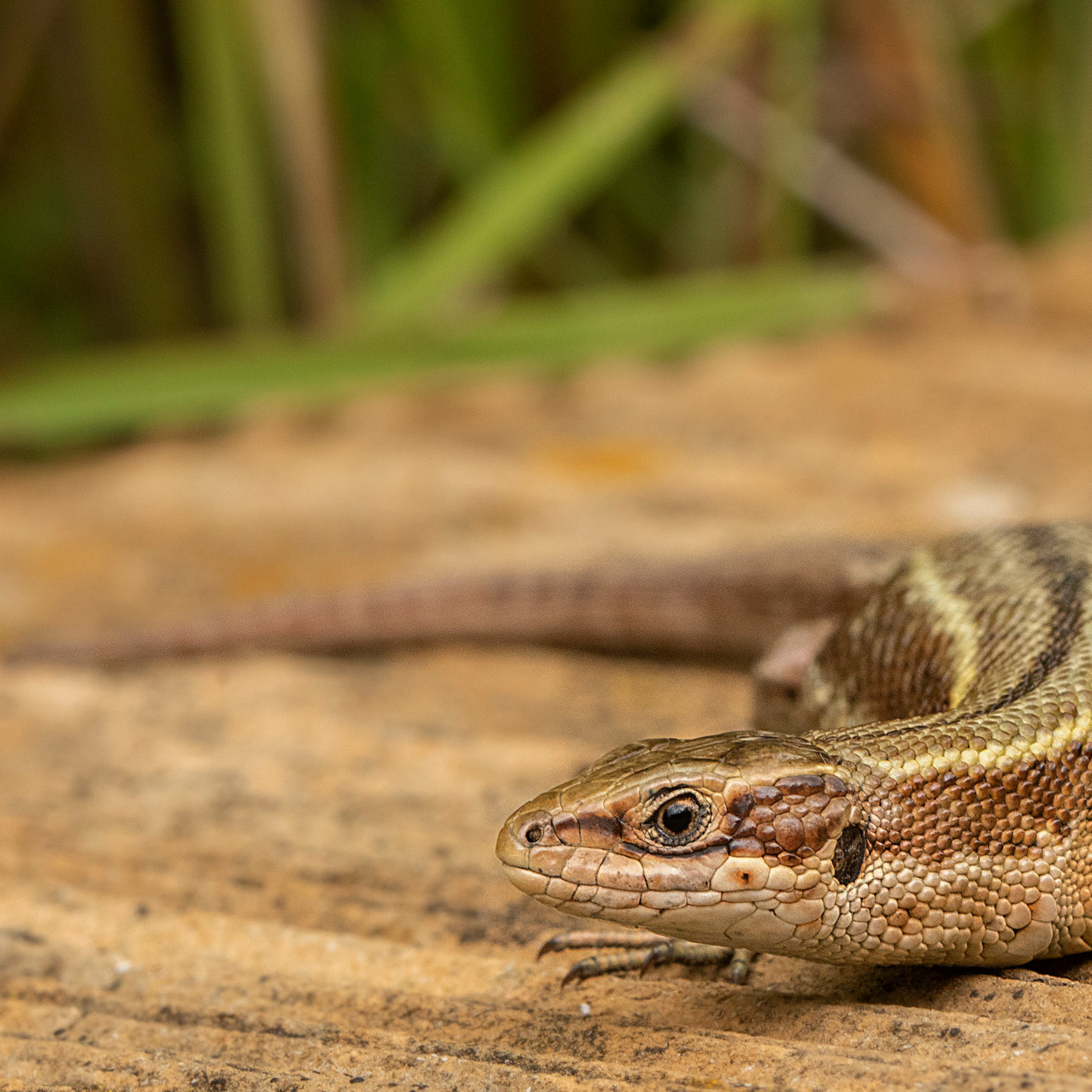 14th June 2019_ Common Lizard_ RSBP Stru