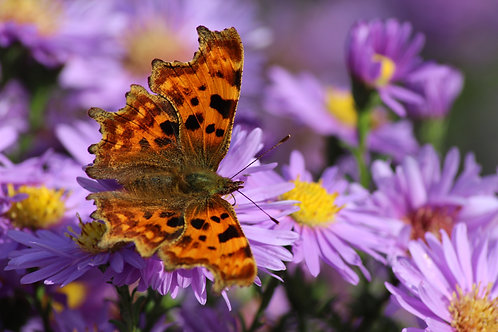 A4 Comma on Asters