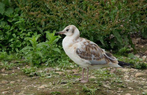 Black-headed Gull Juvenile