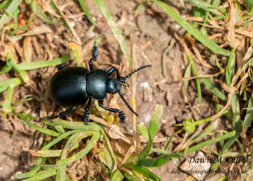 Bloody Nosed Beetle