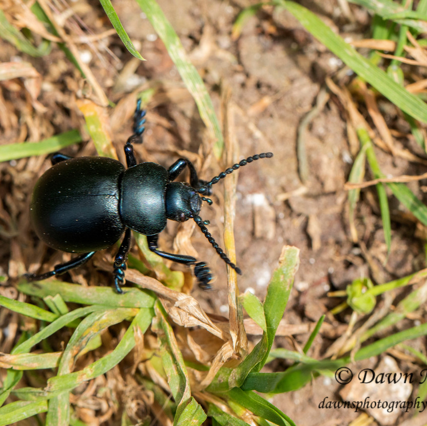 Bloody Nosed Beetle _Martin Downs