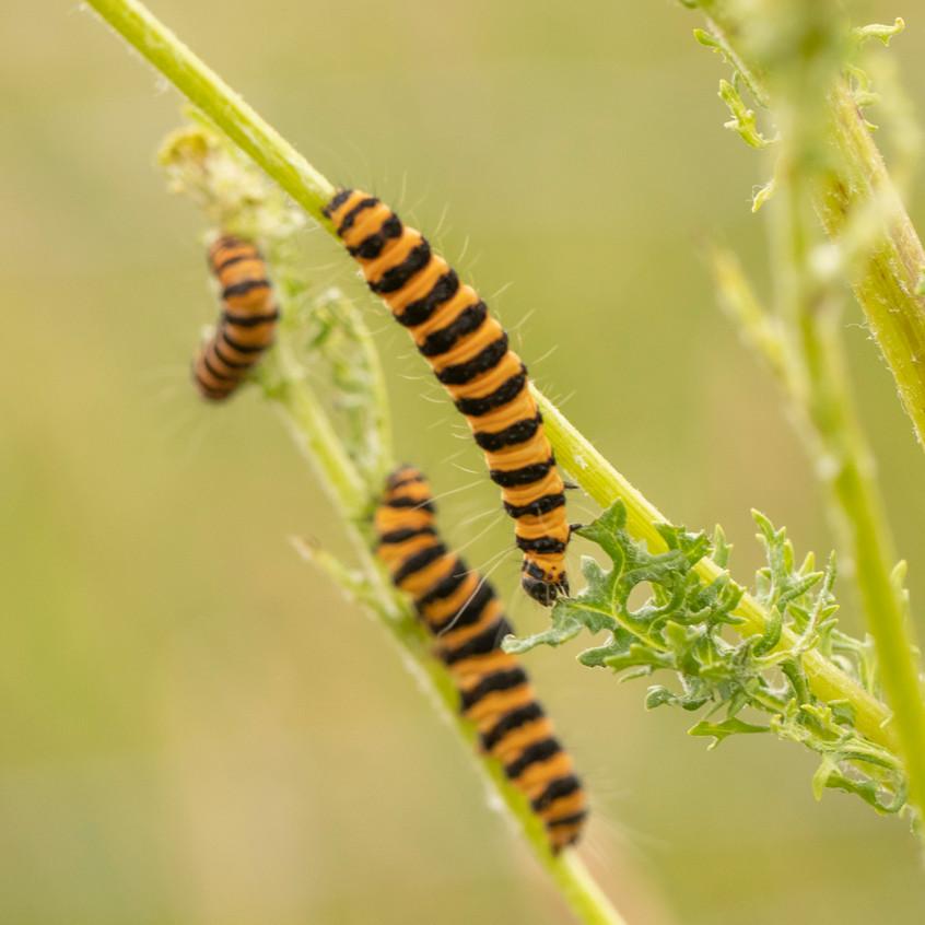 30th June 2020 _Cinnabar Caterpillar _Ra