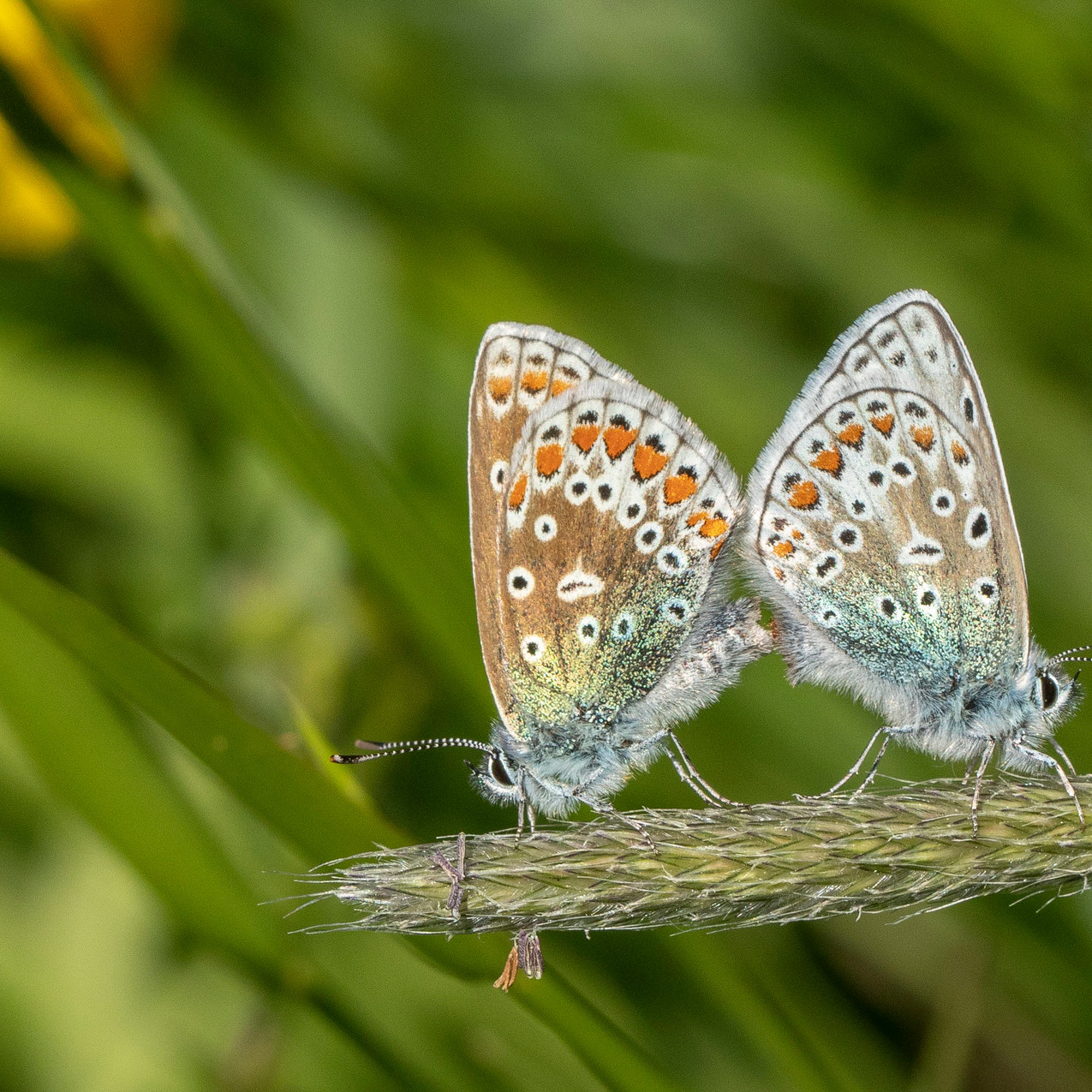 25th May 2020 _Common Blue _Hatton Meado