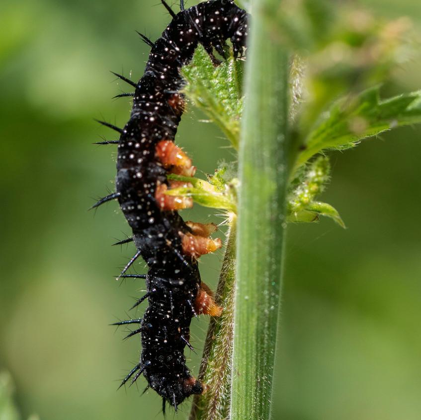 Peacock Caterpillars_Martin Downs