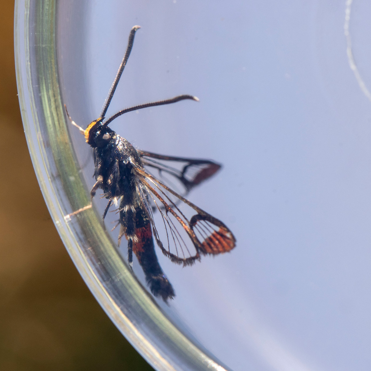 29th May 2020 _Red-tipped Clearwing Moth