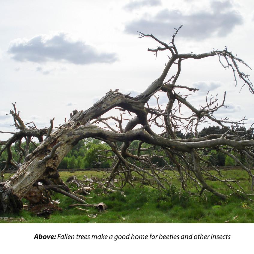Kirkby Moor_ Habitat 2_ Fallen Tree