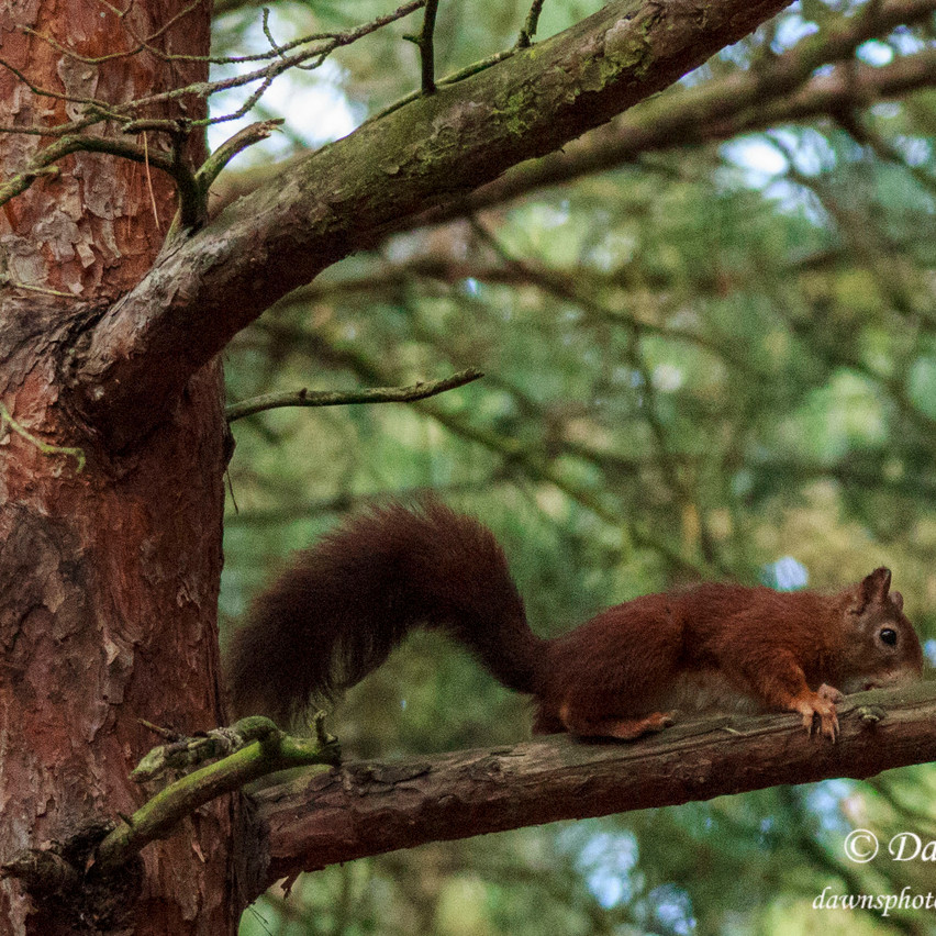 6th Oct 2016  _Red Squirrel _Formby_S29