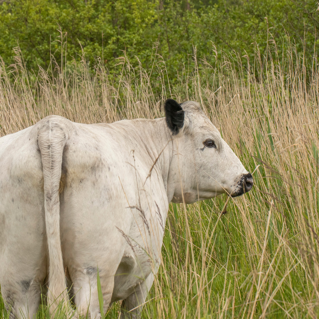13th June 2019_ Grazing Cows_ Upton Broa
