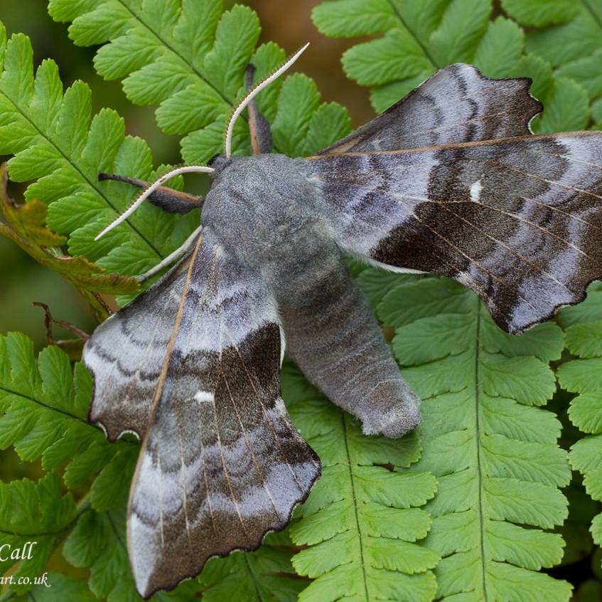 24th May 2017  _Poplar Hawk-moth_ Bracebridge Heath Garden _ 18