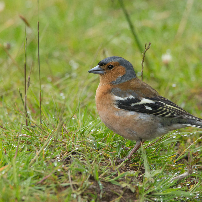 18th June 2017_ Chaffinch _Tiroran Forest _10