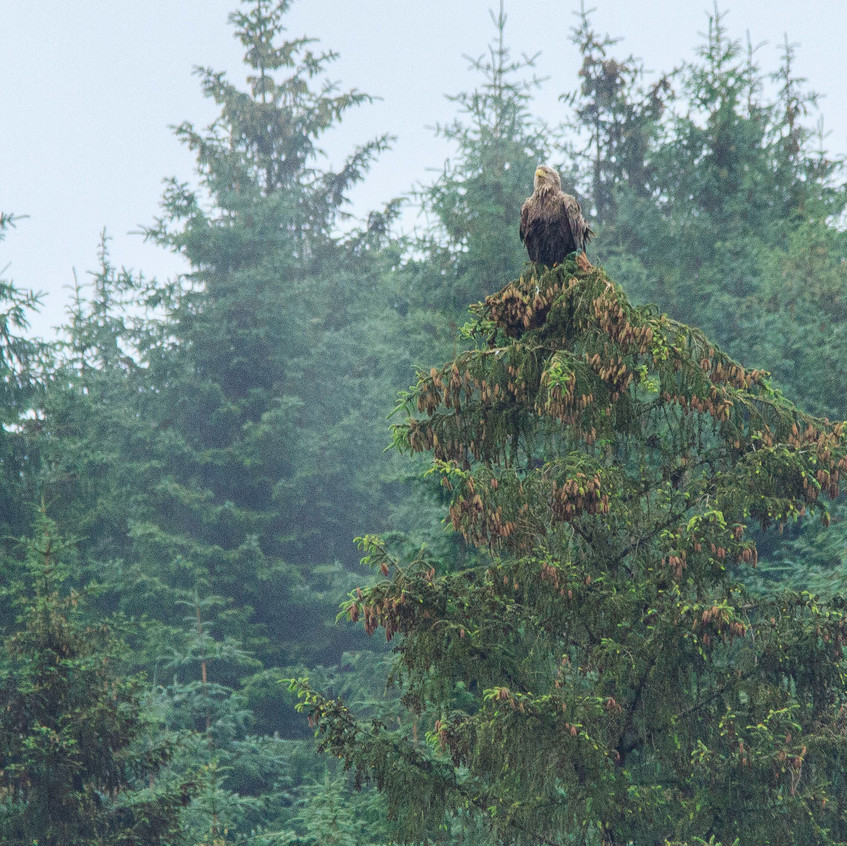 18th June 2017_ White-tailed Sea Eagle _Wildlife Tour Mull Tiroran Forest _03