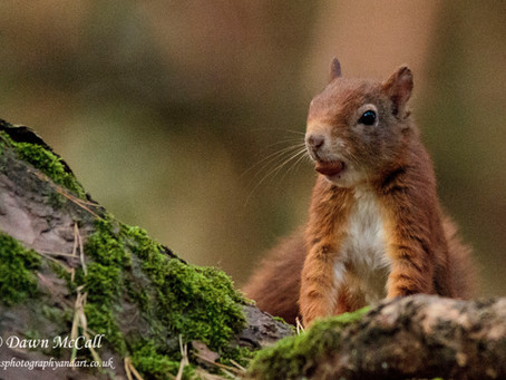 Latest Photos_ In search of Red Squirrels at Formby