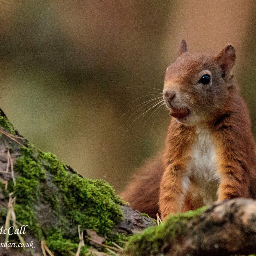 6th Oct 2016  _Red Squirrel _Formby_S33