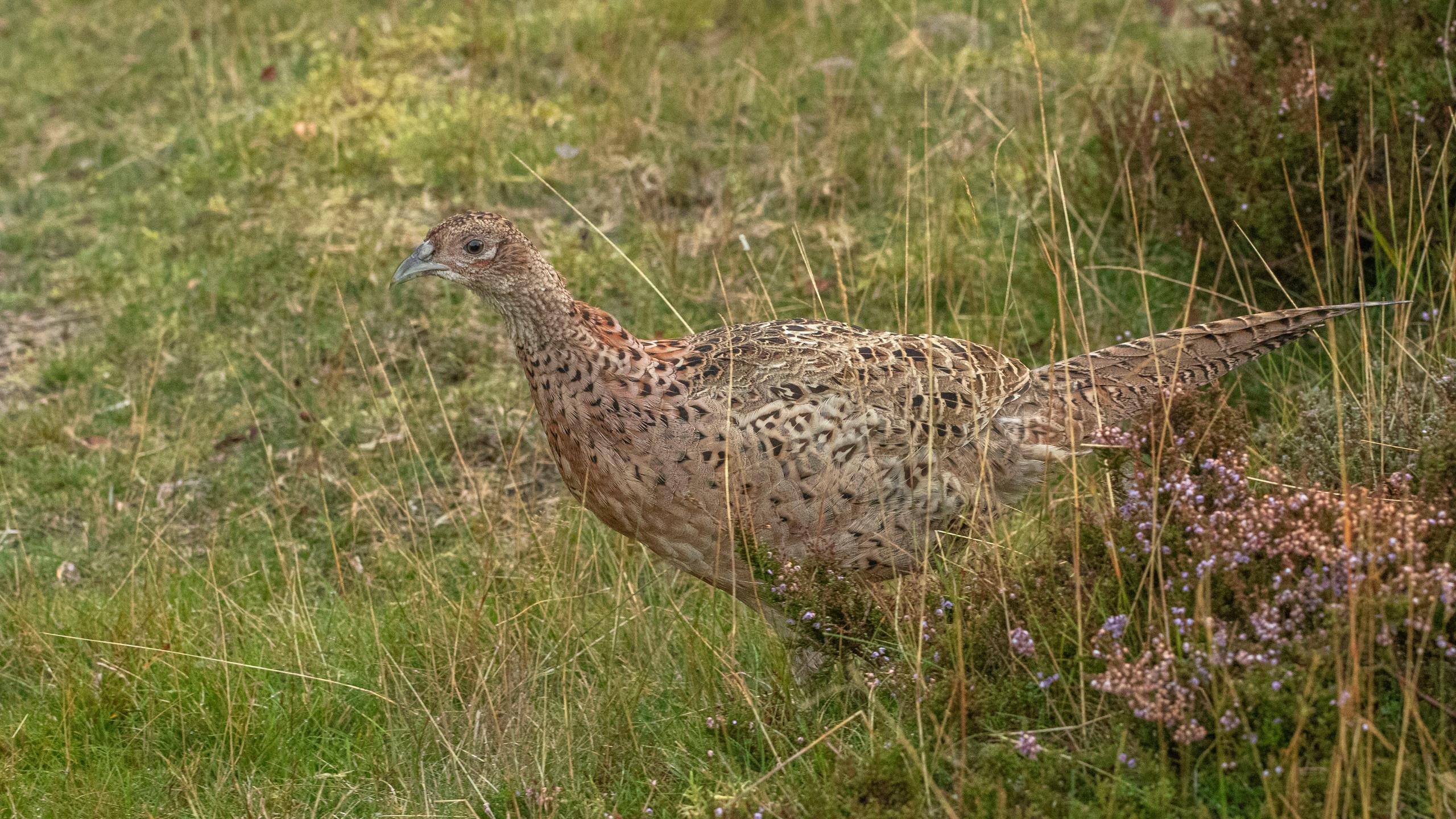 Pheasant on the heath