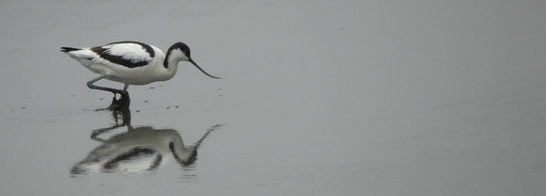 11th June 2019_ Avocet _ Hickling Broad.