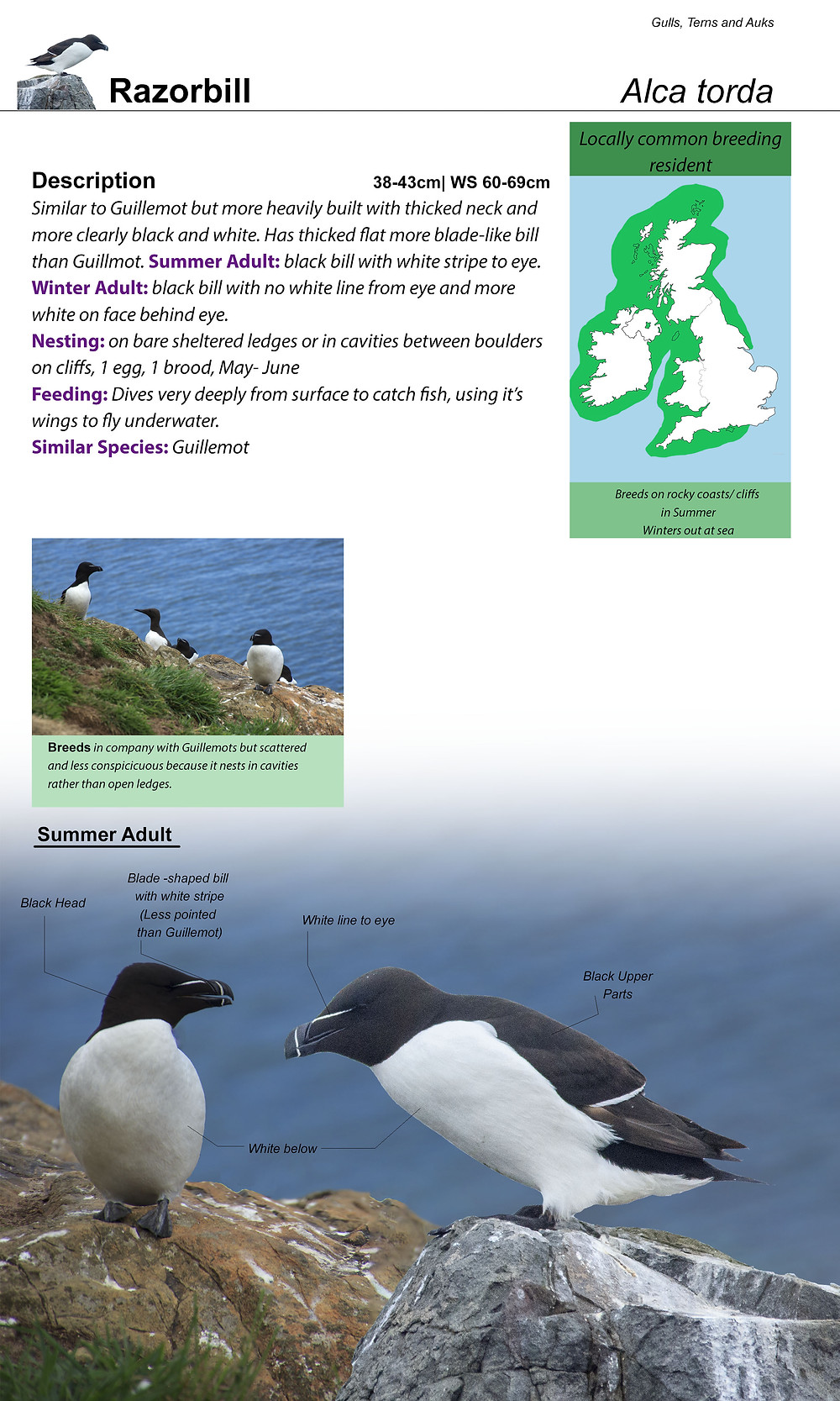 Razorbill page on Naturebook