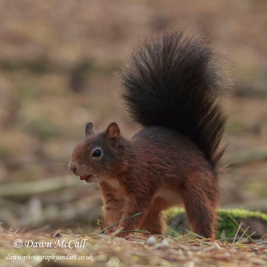 6th Oct 2016  _Red Squirrel _Formby_S13