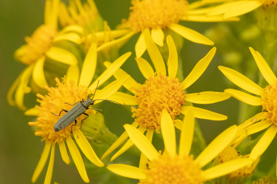 Female Swollen-thighed Beetle