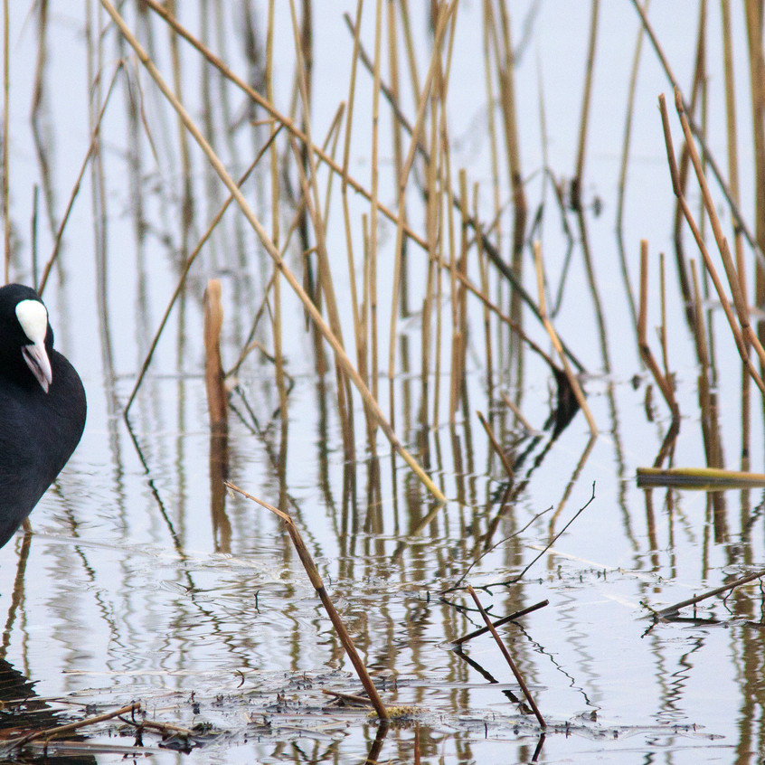21st Feb 2018_ Coot_  Kirkby Gravel Pits_ watermarked_ 02