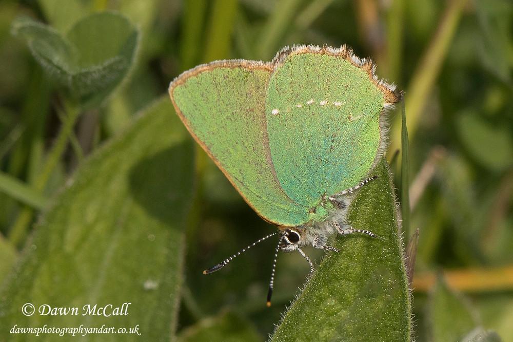 Green Hairsteak Butterfly