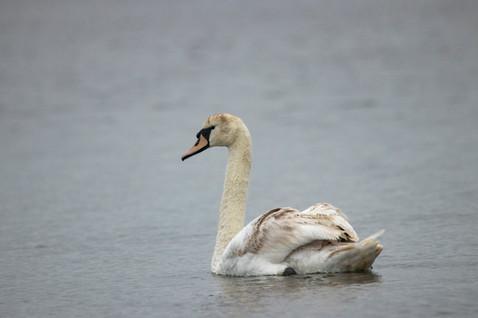 11th June 2019_ Mute Swan _ Hickling Bro