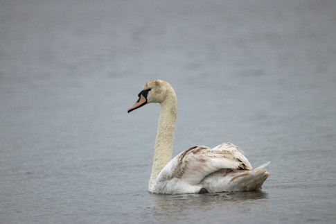 11th June 2019_ Mute Swan _ Hickling Bro