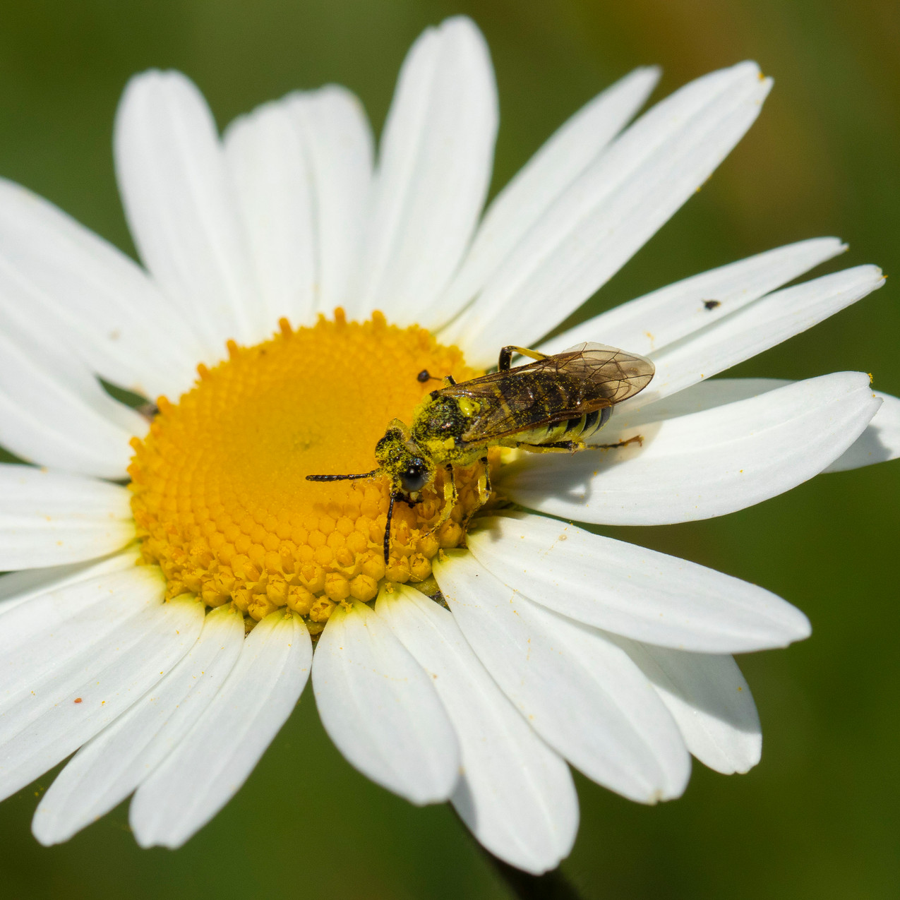 25th May 2020 _Sawfly _Hatton Meadows _0