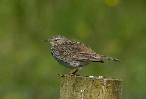 "16"" by 12"" Meadow Pipit"