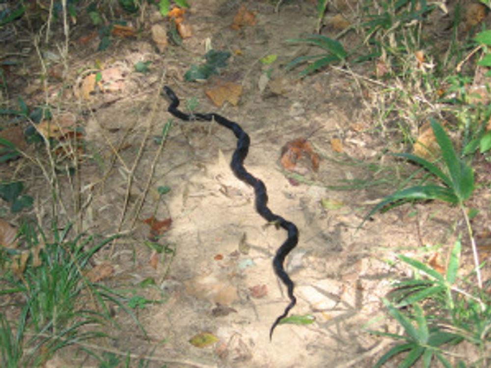 indigo snake at Steven's Creek