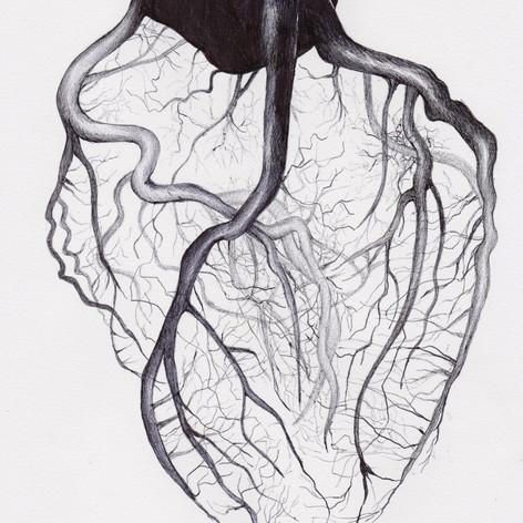Heart Vasculature