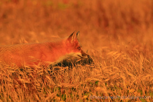 Fox In The Field
