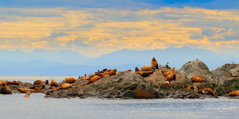 San Juan Steller Sea Lions