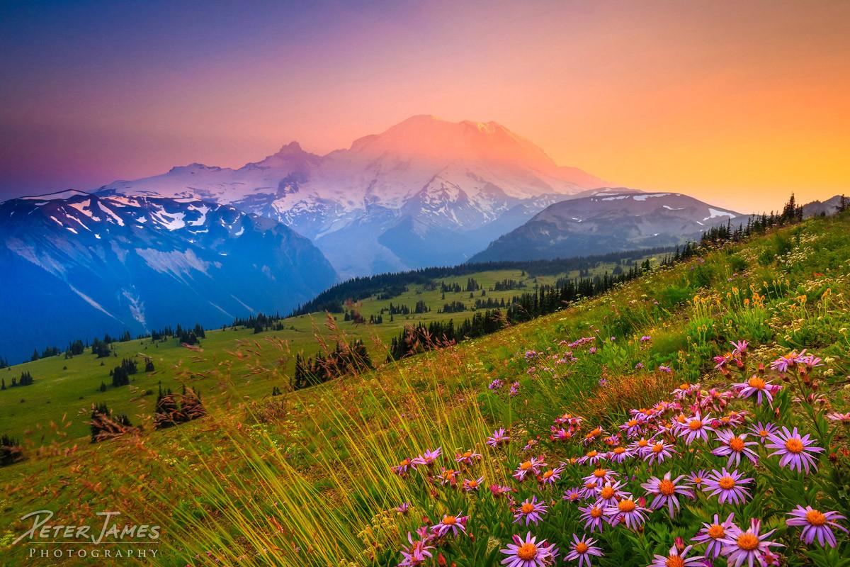 Purple Daisies At Mount Rainier