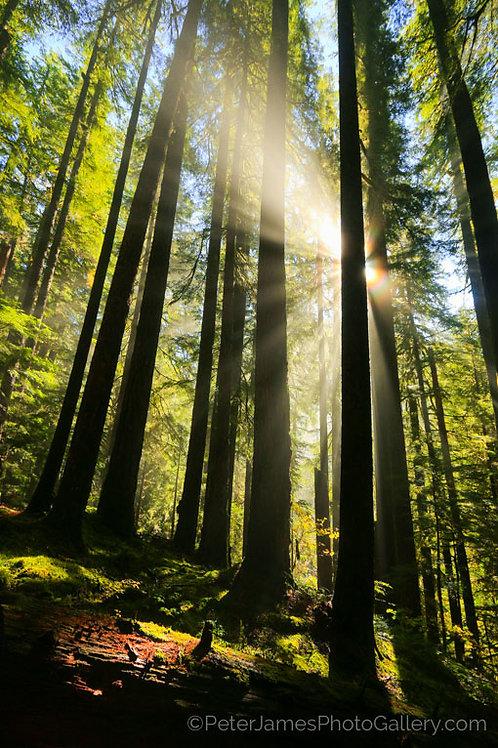 Sunburst In Vibrant Forest