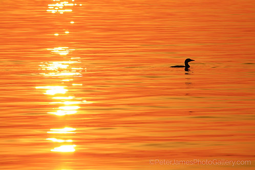 Lone Loon On Luminous Sea
