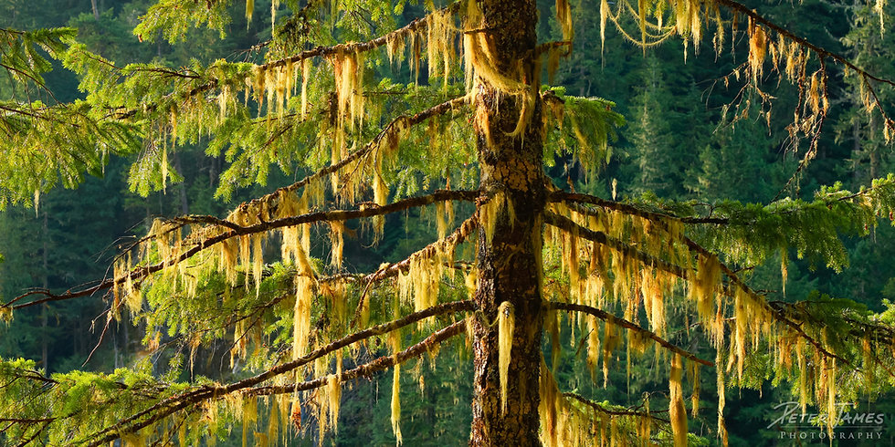 Lichen Covered Spruce