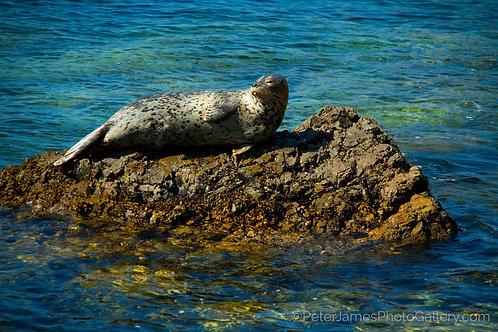 Basking San Juan Harbor Seal