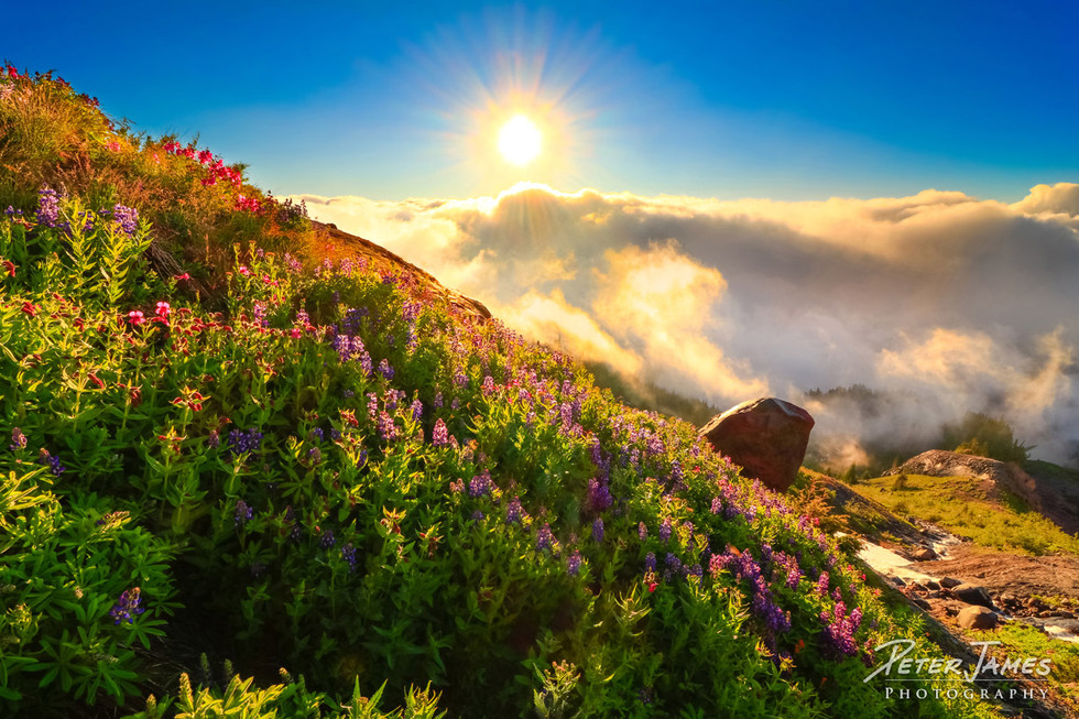 Sunburst Across Alpine Wildflowers