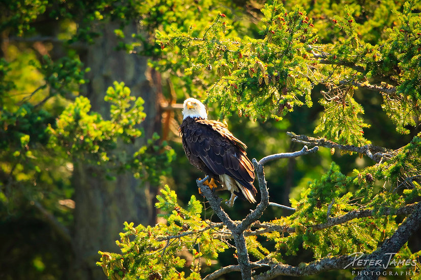 Bald Eagle In Fir Tree